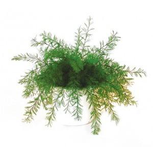 la plante neptune anti moustiques lot de 2 plantes. Black Bedroom Furniture Sets. Home Design Ideas